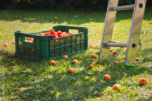 Stampa su Tela Plastic crate full of apricots in the garden during harvest season
