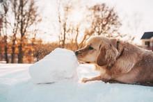 Golden Retriever Dog Playing I...