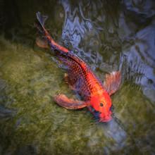 Close-up Of A Koi Fish Swimmin...