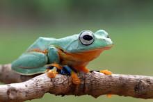 Javan Tree Frog On A Branch