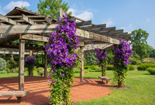 "Clematis ""Jackmanii"" In Bloom On The Columns Of A Pavilion"