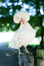 White Polish Fluffy Feather Chicken On Farm