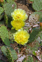 Flowers Of Opuntia