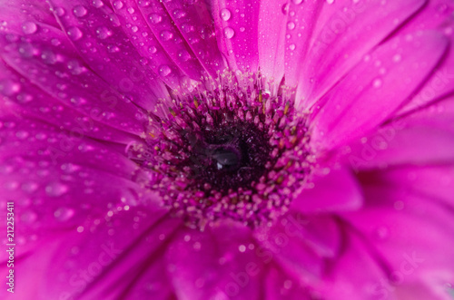 Beautiful purple (magenta) flower background texture close up.purple gerbera with dew drops on top. Purity concept. - 212253411