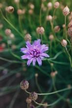 Blooming Centaurea Cyanus Or C...