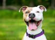 A happy brown and white Pit Bull Terrier mixed breed dog with a huge smile