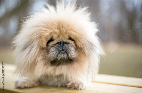 Photo  A fuzzy purebred Pekingese dog