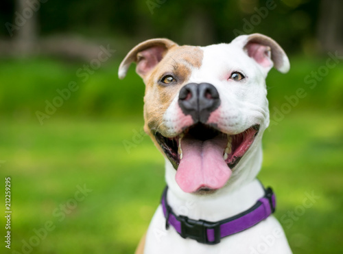 Slika na platnu A happy brown and white Pit Bull Terrier mixed breed dog with a huge smile