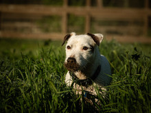 Jack Russell Terrier Dog Outdoor Portrait In Field With Very Dirty Face
