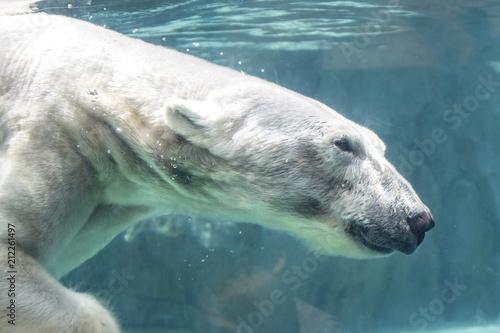 Acrylic Prints Polar bear Polar Bear Swimming