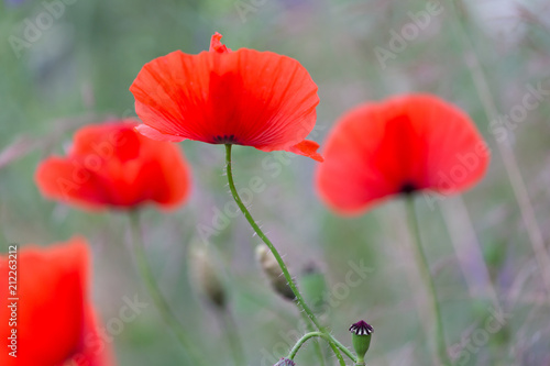 Foto op Aluminium Poppy Red poppies field, remembrance day symbol