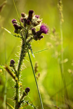 Thistle In Tall Grass
