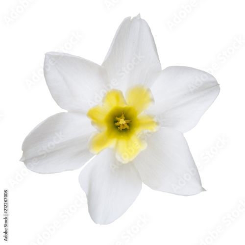 Foto op Plexiglas Magnolia Flower of a daffodil with a yellow center isolated on a white background.