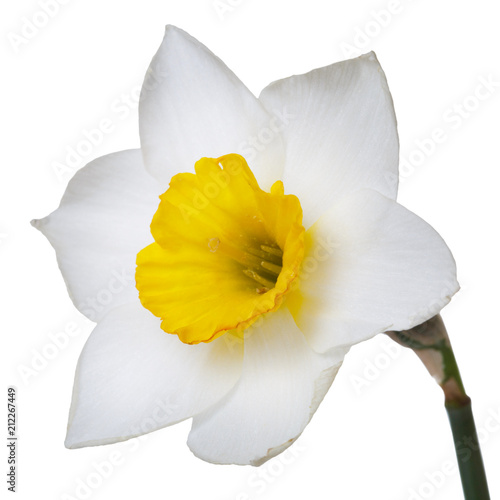 Flower of a daffodil with a yellow center isolated on a white background.