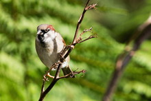 The House Sparrow (Passer Domesticus) Is A Bird Of The Sparrow Family Passeridae, Found In Most Parts Of The World.