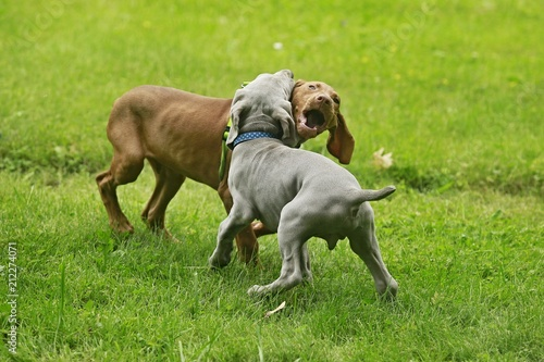 Fotografia  Two young funny cute puppies - silver grey Weimaraner dog and red golden Hungari