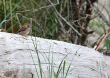 Chubby Song Sparrow Perched On...