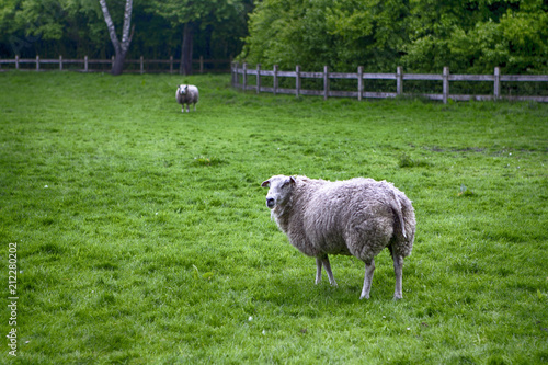 Foto op Aluminium Schapen Two Mature Sheep Pasturing on Green Grass Outdoors.