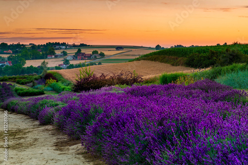 Fototapeta Fresh lavender field at sunset obraz na płótnie