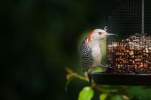 REDHEADED WOODPECKER ON BIRDFE...