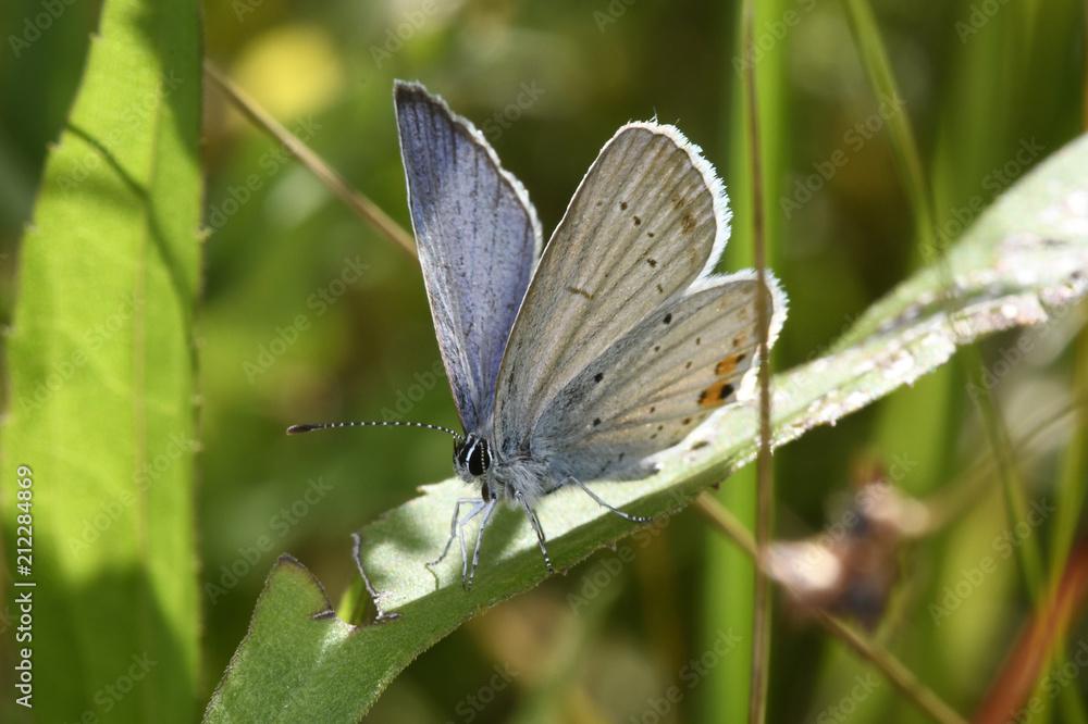 Kurzschwänziger Bläuling (Cupido argiades) Männchen - Short-tailed blue - male
