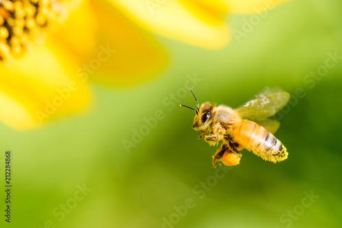 Fotografia Honeybee