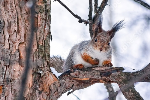 Tuinposter Eekhoorn Kawaii furry red squirrel in the forest