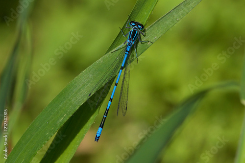 Azuze Damselfly, Coenagrion puella, resting on a leaf.
