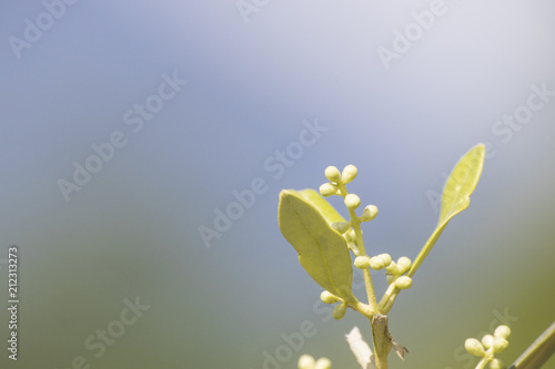 Tuinposter Olijfboom Green olive tree full of leaves with many details in a blue sky