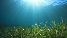 Seagrass Underwater Ocean Back...
