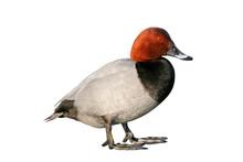 Pochard Duck (Aythya Ferina), ...