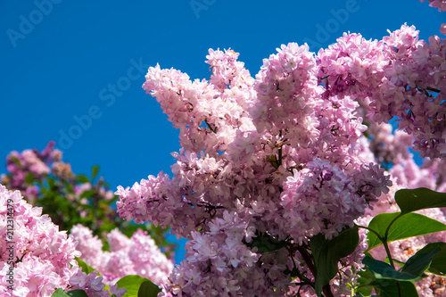 Foto op Aluminium Lilac Purple lilac bush on a blue sky background