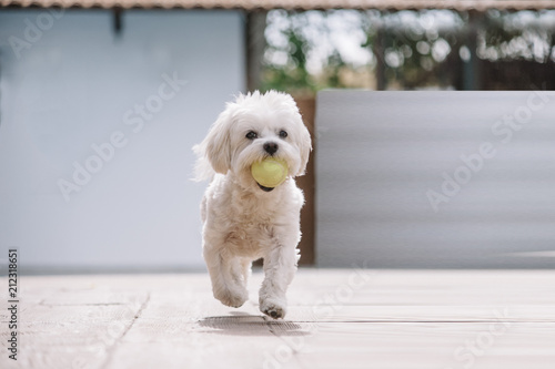 Valokuva  white maltese bichon dog playing with ball in mouth