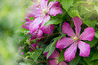 Spring flowers .Clematis flowers in the garden. Nature background. Beauty in nature.Gardening concept.
