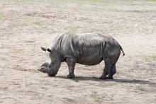 A Big Rhino In The Zoo