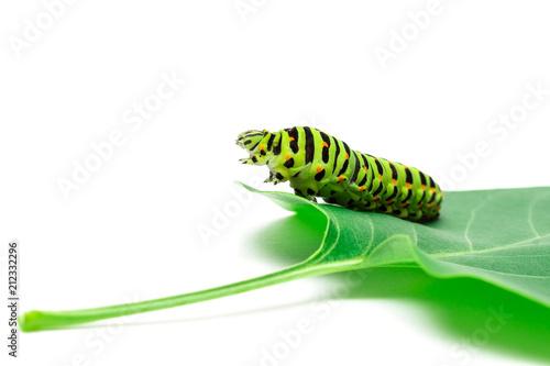 Fotografía  Swallowtail caterpillar white background