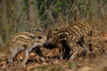 Wild Boar Piglets Playing In T...