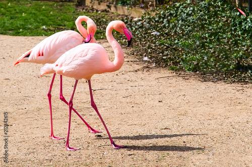 Beautiful couple of Pink flamingo walking together