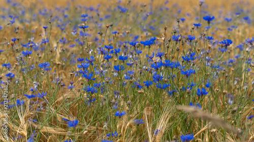 Fototapety, obrazy: wild cornflowers - wilde Kornblumen