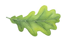 Green Decorative Oak Leaf Watercolour Illustration. Symbol Of Strength, Endurance, Durability, Regeneration, Stability. Hand Drawn Water Color Painting On White Background, Isolated Clip Art Detail.
