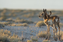 Pronghorn Fawns At Sunset In U...