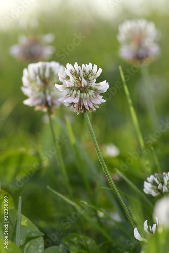 Weiß blühender Wiesenklee (Trifolium pratense) im Gegenlicht - clover
