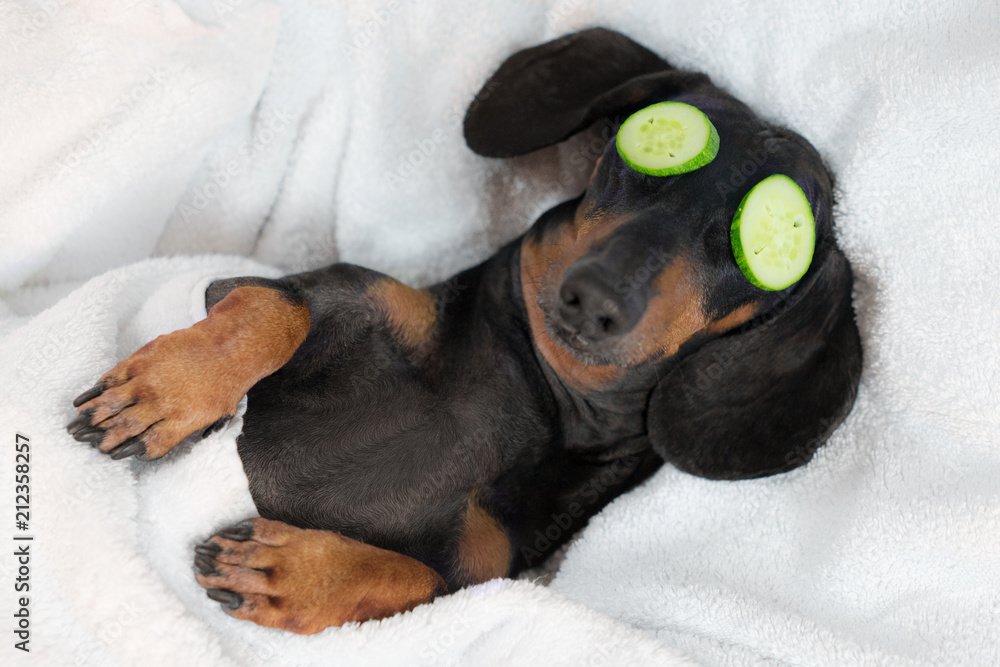 Fototapety, obrazy: dog dachshund, black and tan, relaxed from spa procedures on face with cucumber, covered with a towel