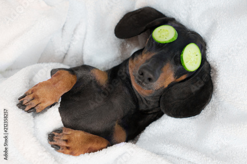 Fotobehang Hond dog dachshund, black and tan, relaxed from spa procedures on face with cucumber, covered with a towel