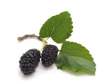 A Mulberry With Leaves.