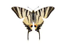 Scarce Swallowtail Butterfly, ...