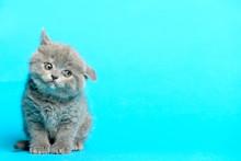 Young British Kitten Blue Background
