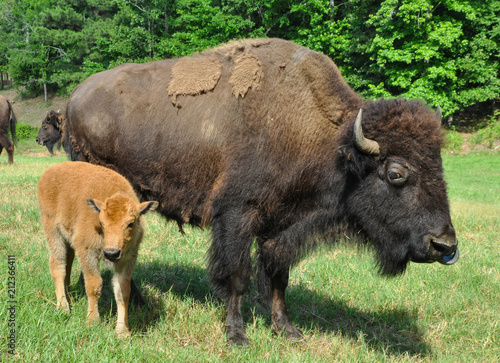 Tuinposter Bison Buffalo Roaming in a Field