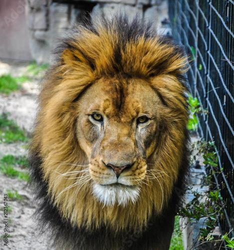 Staande foto Leeuw Lion Roaming in a Field