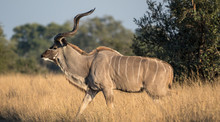 Kudu In African Bush